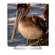 Mister Pelican Shower Curtain