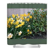 Mixed Daffodils Shower Curtain