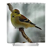 Molting In January? - American Goldfinch Shower Curtain