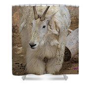 Molting Mountain Goat Shower Curtain