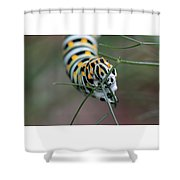 Monarch Caterpillar Clutches Dill In Pincers, Macro Shower Curtain