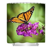 Monarch Moth On Buddleias Shower Curtain by Carolyn Marshall