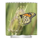 Monarch On A Thistle  Shower Curtain