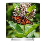 Monarch On Milk Weed Shower Curtain