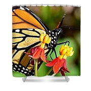 Monarch Pollination 1 Shower Curtain