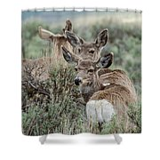 Montana Mule Deer On A Spring Night Shower Curtain