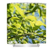 Monterrey Oak Leaves In Spring Shower Curtain