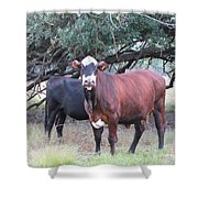 Moo Cow Shower Curtain