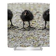 Moorhen Chicks Shower Curtain