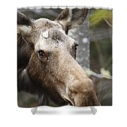 Moose - White Mountains New Hampshire Usa Shower Curtain