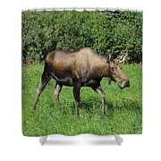 Moose Cow Grazing Shower Curtain