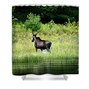 Moose Cow Shower Curtain