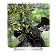 Moose Eating Crab Apple Tree Shower Curtain