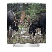 Moose. Males Fighting During The Rut Shower Curtain