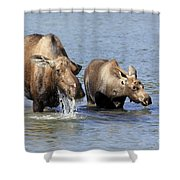 Moose Mama With Her Calf Shower Curtain