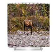 Moose Pawses In Mid-drink Shower Curtain