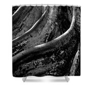 Moreton Bay Fig In Bw Shower Curtain