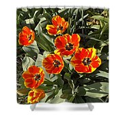 Morning Tulip Blooms    Indiana   Spring Shower Curtain