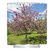 Moscow, Pink Cherries In Kolomenskoye Park Shower Curtain