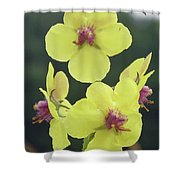 Moth Mullein Wildflowers - Verbascum Blattaria Shower Curtain