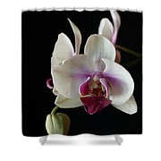 Moth Orchid 2 Shower Curtain