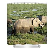 Mother And Calves Shower Curtain