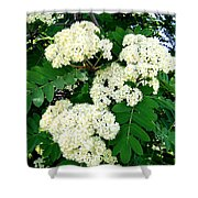 Mountain Ash Blossoms Shower Curtain