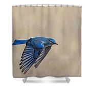 Mountain Bluebird Male In Flight Shower Curtain