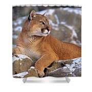 Mountain Lion On Snow-covered Rock Outcrop Shower Curtain