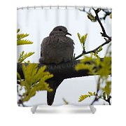 Mourning Dove 2 Shower Curtain