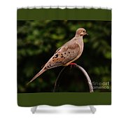 Good Morning Mourning Dove  Shower Curtain