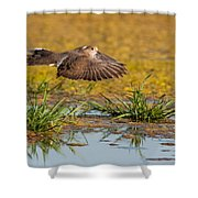 Mourning Dove In Flight Shower Curtain