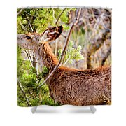 Mule Deer Foraging On Pine On A Colorado Spring Afternoon Shower Curtain