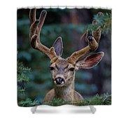 Mule Deer In Velvet 02 Shower Curtain