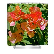 Multi-colored Bougainvillea At Pilgrim Place In Claremont-california  Shower Curtain