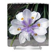 Multi-petal White Iris Flower. Very Unusual, Rare Form Shower Curtain