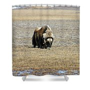 Musk Ox Grazing Shower Curtain