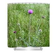 Musk Thistle In Full Glory Shower Curtain