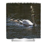 Mute Swan With Three Cygnets Following Shower Curtain