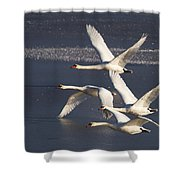 Mute Swans In Flight Shower Curtain