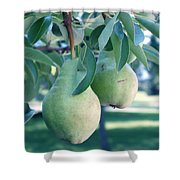My Brothers Pear Tree Shower Curtain