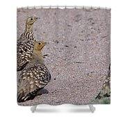 Namaqua Sandgrouse Shower Curtain