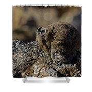 Napping American Pika - 4694 Shower Curtain