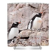 Nesting Gentoo Penguins Shower Curtain