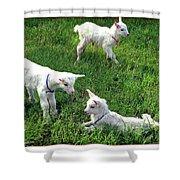 Newborn Goats Shower Curtain