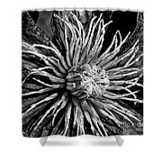 Niobe Clematis Study In Black And White Shower Curtain