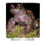Noras Spiny Chest Frog Shower Curtain