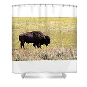 North American Bison- Buffalo In Field  Shower Curtain