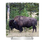 North American Buffalo Grazing Near Edge Of Woods During Late Su Shower Curtain