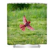 Northern Cardinal In Flight Shower Curtain